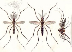 Aedes aegipti