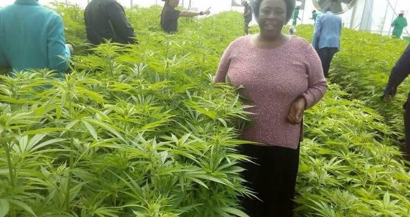 Lesotho: le cannabis c'est de l'or vert sans faire desmorts!
